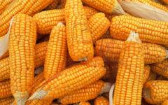 Milho: Benefícios, Vitaminas, Como consumir e Cuidados.