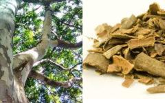 Pau Ferro: Benefícios e como fazer o chá das folhas e cascas.