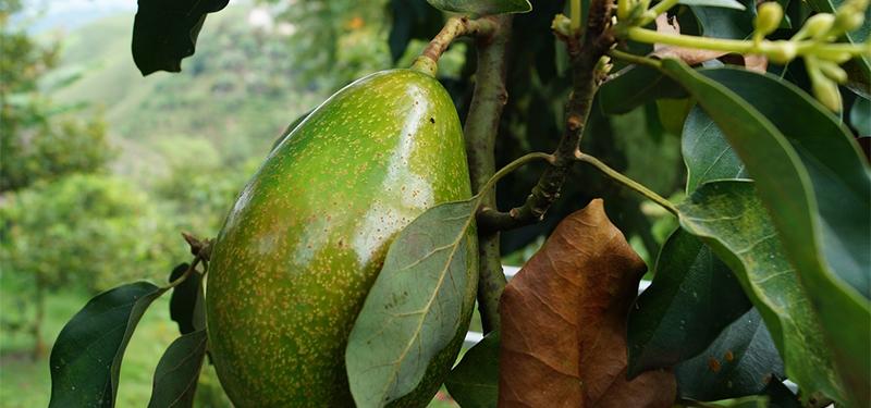 Abacate:Benefícios, Nutrientes, Propriedades e Origem.