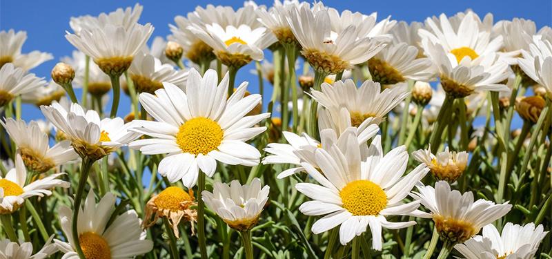Flor Margarida : como cultivar, cuidar e mais!