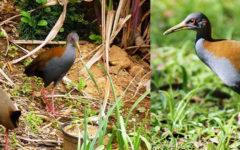 Saracura do mato: tudo sobre essa ave do brejo!