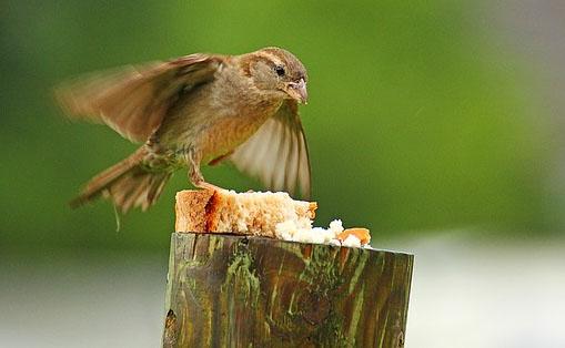 pardal alimentação