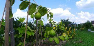 Chá de Folha de Limão emagrece