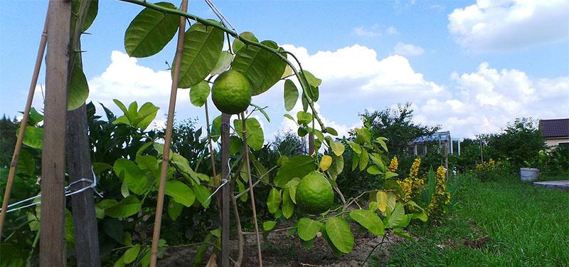 Chá de Folha de Limão Para Gripe e Outros Benefícios.