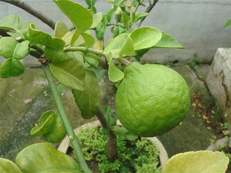 O chá da folha do limão é bom para quê