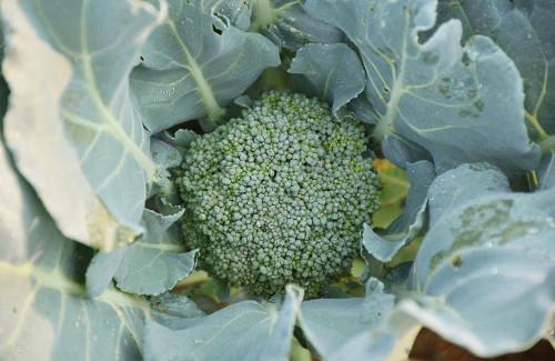 folhas de brócolis para que serve