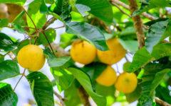 Mangostão amarelo: benefícios, origem e como comer mangostin!