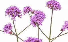 Verbena: benefícios para a saúde, como plantar e fazer o chá