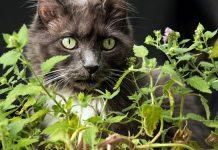 erva de gato como usar