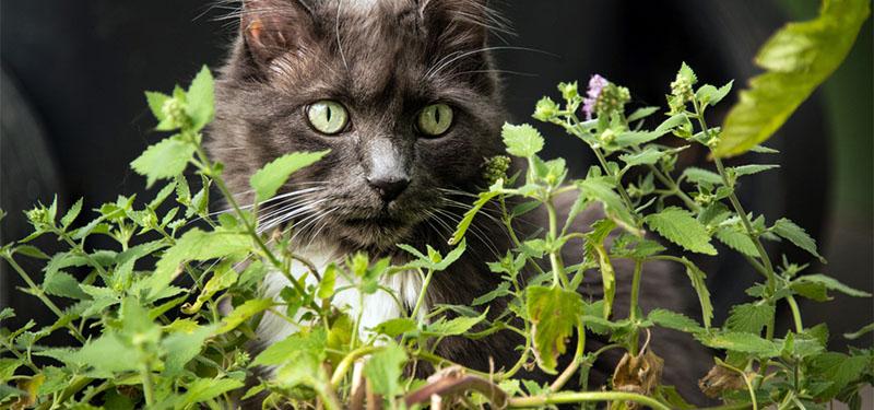 Erva dos Gatos: Saiba tudo a respeito!