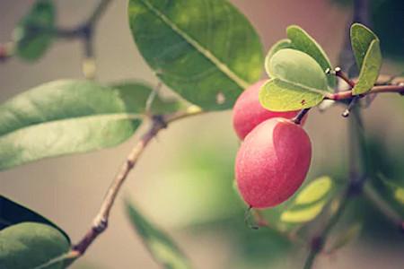 fruta do milagre beneficios