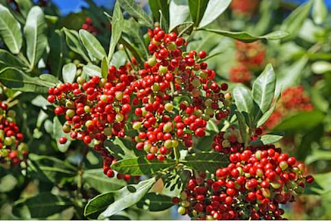 aroeira anacardiaceae