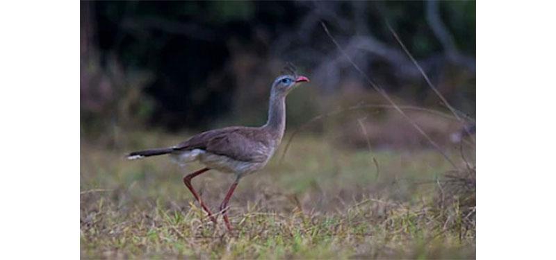 Seriema: tudo sobre essa incrível ave!